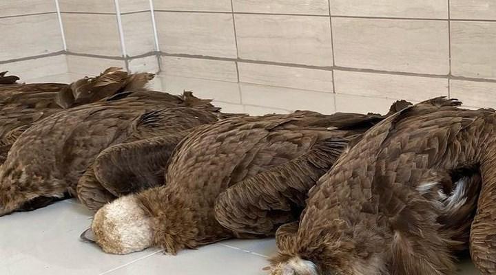 Afyon'da nesli tehlike altında olan 7 akbaba, çevreye atılan zehirli etler nedeniyle yaşamını yitirdi