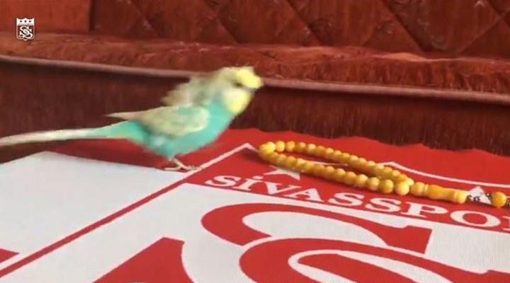 Sivasspor'un en ilginç taraftarı: Muhabbet kuşu Bulut