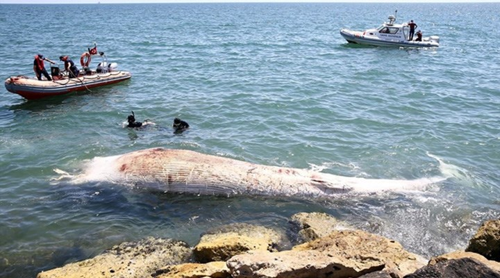 Mersin'de sahile 8 metre uzunluğunda oluklu beyaz balina vurdu