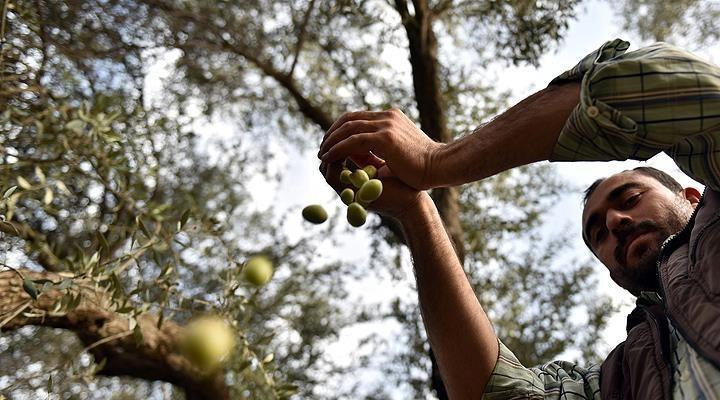 Güney Ege zeytinciliğine yeni soluk
