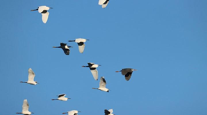 Kıyı balıkçılı kuşu Türkiye'de ilk kez Hatay'da kayıt altına alındı