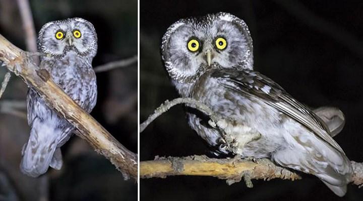 Paçalı baykuşun görüldüğü 3'üncü il Gümüşhane