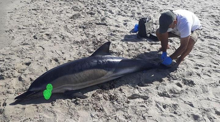 Kuşadası sahilinde ölü yunus bulundu: Delici aletle yaralanmış