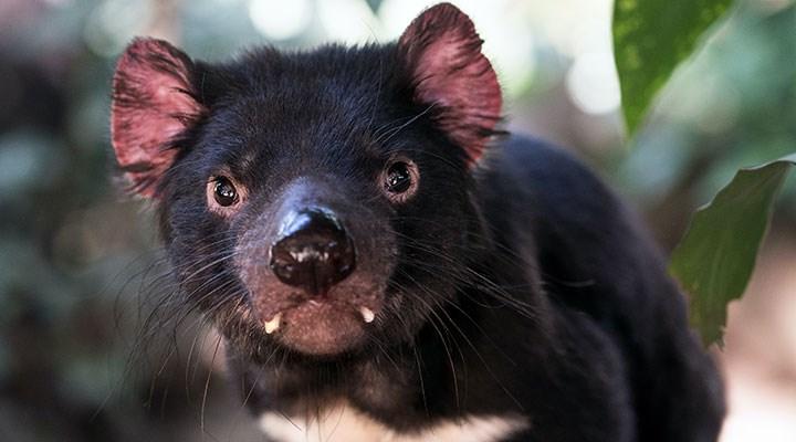 Tazmanya canavarı, 3 bin yıl sonra ilk kez Tazmanya Adası dışında üremeyi başardı