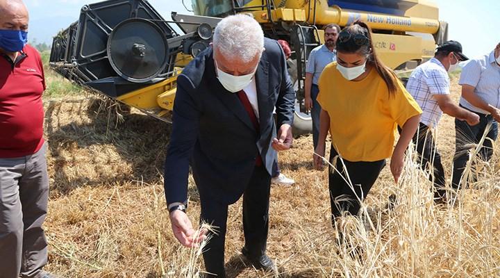 Efeler'de karakılçık buğday hasadı başladı