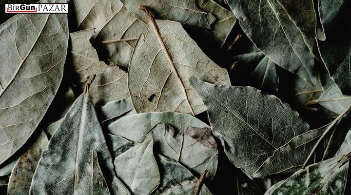Doğadan çizgili hikayeler | Apollon'un kutsal ağacı defne