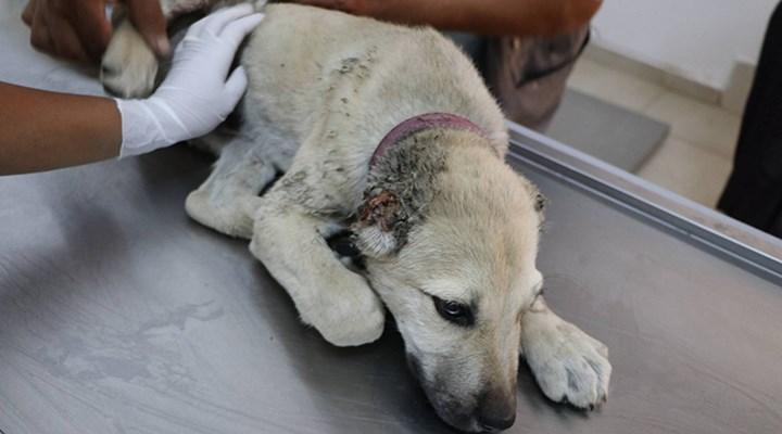 Urfa'da yavru köpeğin kulaklarını kesip ayağını kırdılar