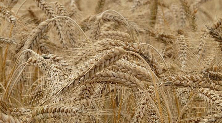 TMO'ya ithal arpa tepkisi: Yabancı çiftçiyi zenginleştirirken yerli çiftçiyi ezdiriyor