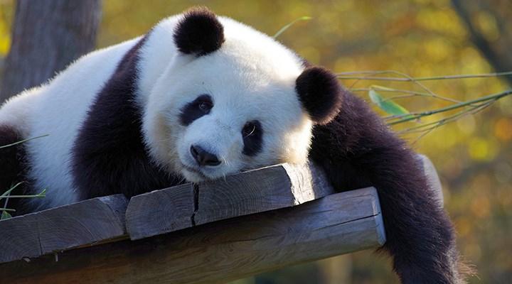Çin, dev pandaları 'tehlike altındaki tür' sınıflandırmasından çıkardı