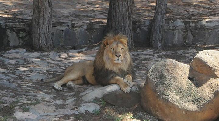 Antep'te kafesten kaçan aslan bakıcısını yaraladı