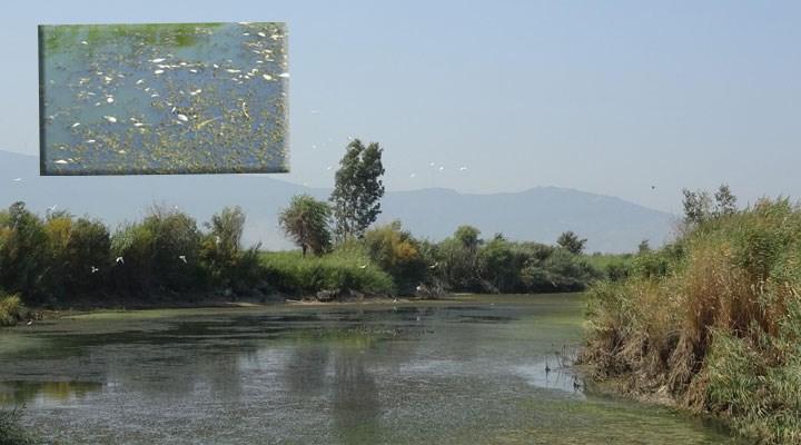 Kuraklık Büyük Menderes'i de vurdu: Binlerce balık öldü