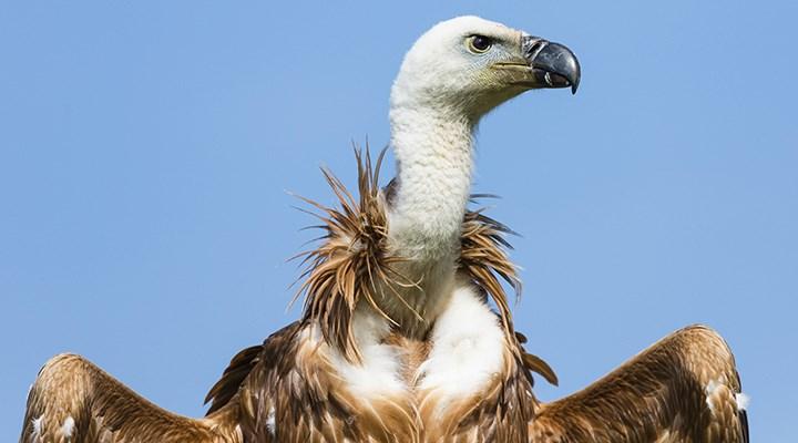 Yırtıcı kuş türlerinin yüzde 30'u tehdit altında