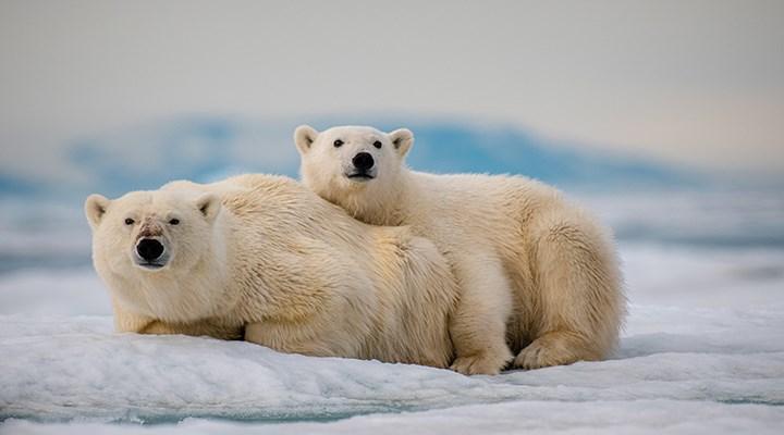 Kutup ayılarının genetik çeşitliliği küresel ısınma nedeniyle azalıyor
