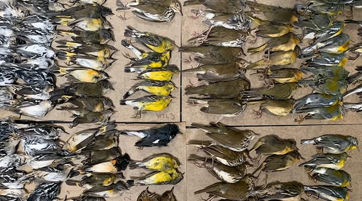 New York'ta ışıklar nedeniyle yolunu şaşıran yüzlerce kuş gökdelenlere çarparak öldü