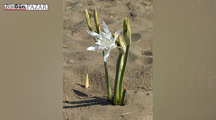 Akdeniz'in endemik güzeli: Kum Zambağı