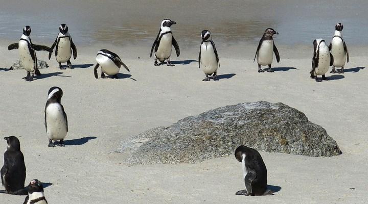 Nesli tükenmekte olan 63 penguen, arılar tarafından öldürüldü