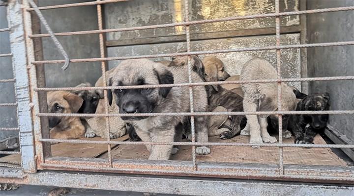 Kulu Belediyesi aracıyla yol kenarına bırakılan 50 yavru köpekten 20'si öldü