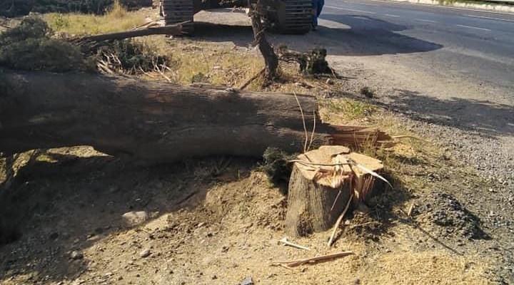 Yol yapımı için 80 yıllık servi ağaçlarını kestiler