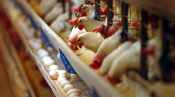 Tavukların alanı A4 kâğıdı kadar