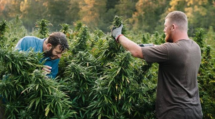 ABD'de artan marihuana çiftlikleri nedeniyle acil durum ilan edildi