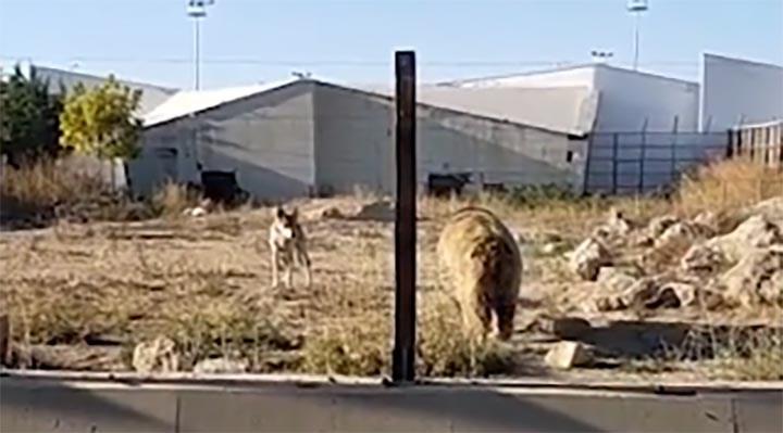 """""""Kayseri hayvanat bahçesinde 16 kurt bahis için ayının üzerine salındı"""" iddiası"""
