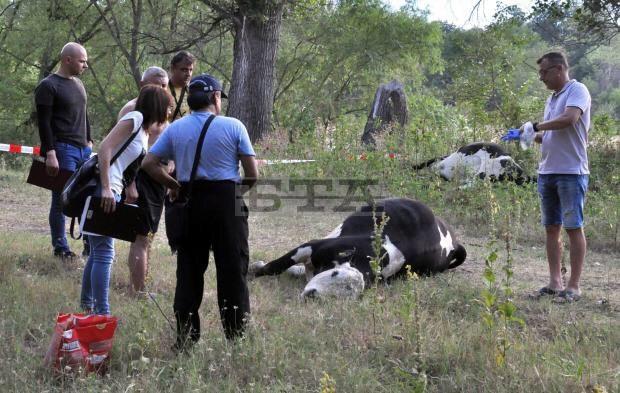 bulgaristan-da-meric-nehri-nden-su-icen-ineklerin-oldugu-iddia-edildi-762013-1.