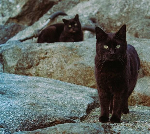 27-ekim-dunya-kara-kediler-gunu-daha-az-sahipleniliyorlar-797358-1.