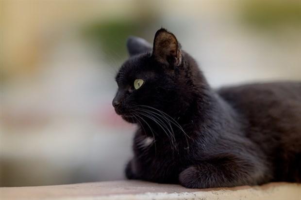 27-ekim-dunya-kara-kediler-gunu-daha-az-sahipleniliyorlar-797359-1.
