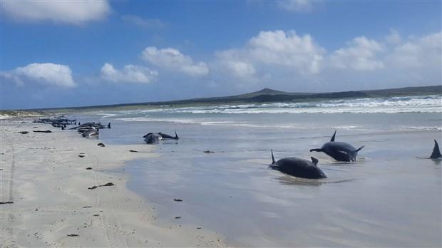 yeni-zelanda-da-120-den-fazla-balina-ve-yunus-karaya-vurdu-809242-1.
