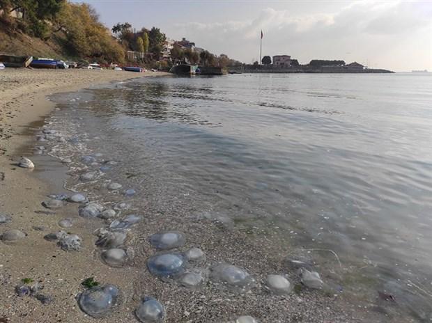 marmara-sahillerinde-denizanasi-yogunlugu-sebebi-kuraklik-813628-1.
