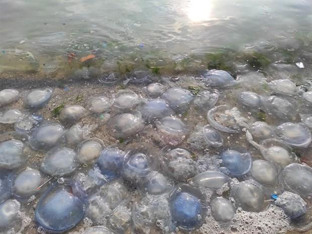 marmara-sahillerinde-denizanasi-yogunlugu-sebebi-kuraklik-813629-1.