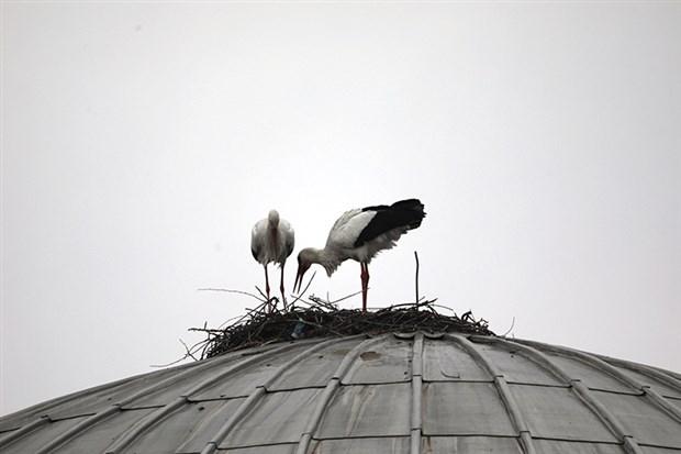 bingol-de-nest-building-two-stork-four-year-no-goc-844355-1.