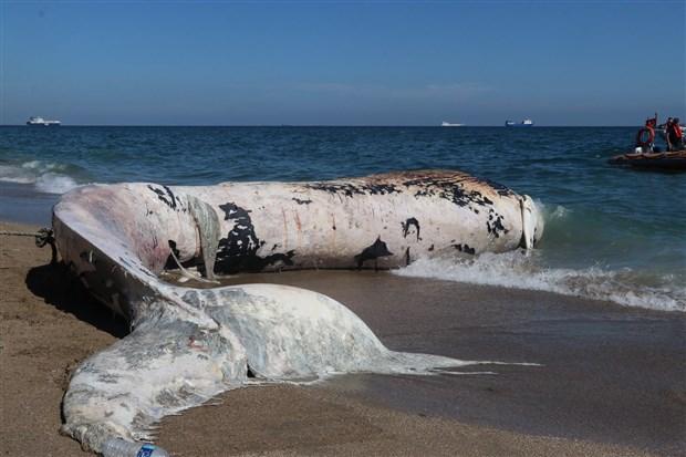 mersin-de-sahile-8-metre-uzunlugunda-oluklu-beyaz-balina-vurdu-875472-1.