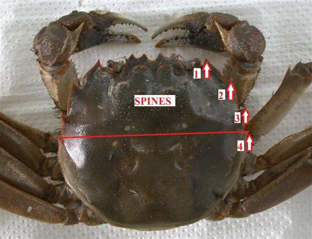mavi-yengecler-istilaci-yengec-tehdidi-altinda-892903-1.