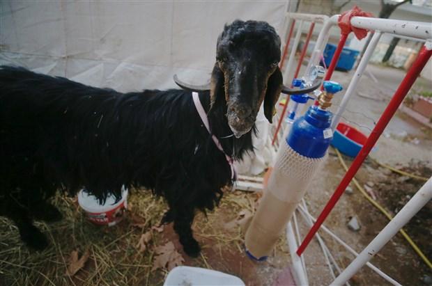 orman-yangininda-yaralanan-hayvanlar-sahra-hastanesinde-tedavi-ediliyor-908096-1.