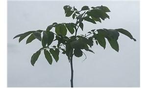 Ceviz ağacının umudu
