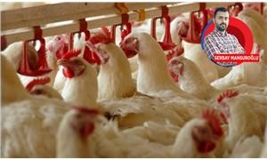Tavuk şirketleri sağlığı ve çevreyi umursamıyor
