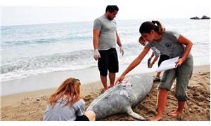 Akdeniz fokunu tüfekle öldürdüler