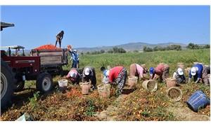 Domatesi para etmeyen çiftçi isyan etti