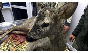 Köpeklerin saldırısıyla yaralanan karaca, tedavi edilerek, doğaya bırakıldı