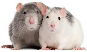 Sıçanlar birbirleriyle ticaret yapıyor!