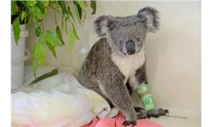 Van kedisi değil koala