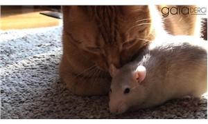 Fare, kedi ile olan arkadaşlığını bozabilecek hiçbir şeye izin vermiyor
