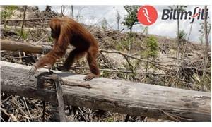 Küresel yok olma tehdidi ile karşı karşıya olan primatlar için çağrı