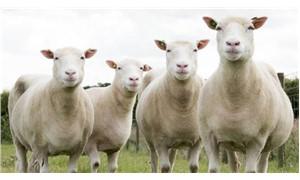 Çoban, koyunlar için idareci değil tehlike