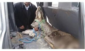 Köpeklerinin saldırısına uğrayan karaca tedavi altına alındı