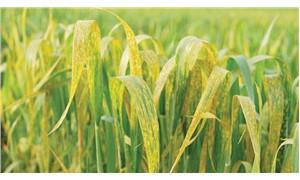 Buğday pasıyla mücadele