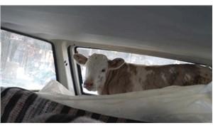 Buzağısını otomobille veterinere götürdü