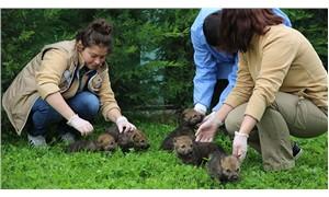 Anneleri ölen 5 kurt yavrusu koruma altına alındı