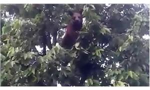 Kiraz ağacına çıkan ayıyı cep telefonuyla görüntüledi